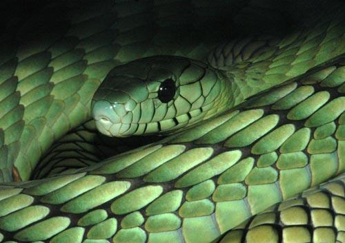[http://www.megasphera.cz/africanvenomoussnakes/imag es/Jedovati_hadi/Dendroaspis_web/D_viridis_tmava.jp g]